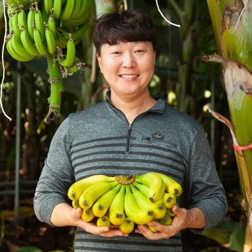 [예약판매] 수요일은 국산 유기농 바나나 수확하는 날
